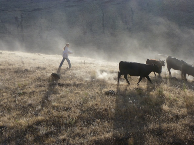 hm running cattle